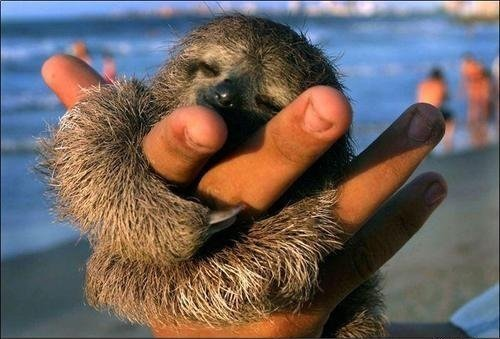 Cute Sleeping Sloth. :)